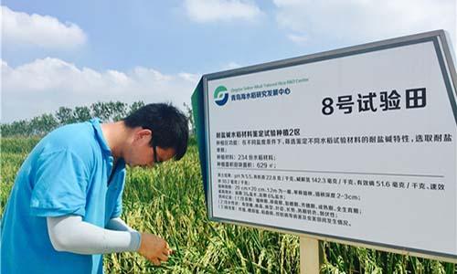 """青岛""""海水稻""""亩产620公斤!2.8亿盐碱地成我国新粮仓"""